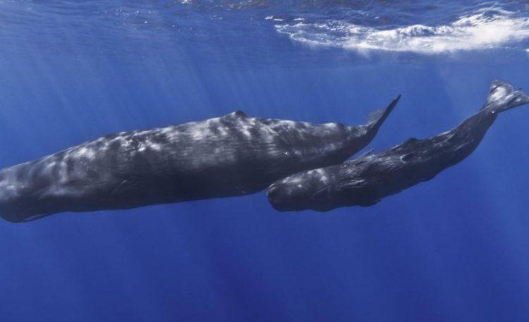 De potvis of de 'sperm whale' (CC BY-SA 2.0 - Gabriel Barathieu - wiki)