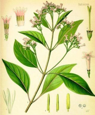 Kinaplant (Publiek domein - wiki)