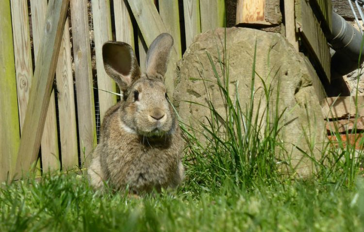 Run Rabbit Run - Konijn (CC0 - Pixabay - EME)