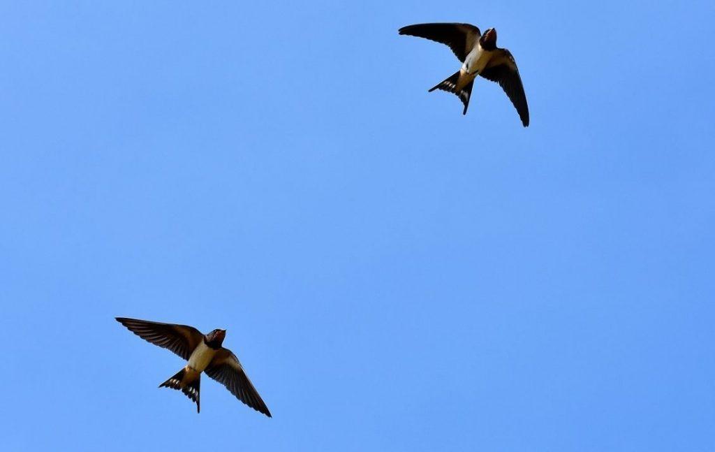 'Zwaluwstaarten' - Twee zwaluwen (CC0 - Pixabay -  Capri23auto)