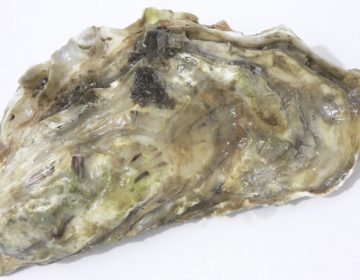 Gesloten oester (CC BY-SA 3.0 - David.Monniaux - wiki)