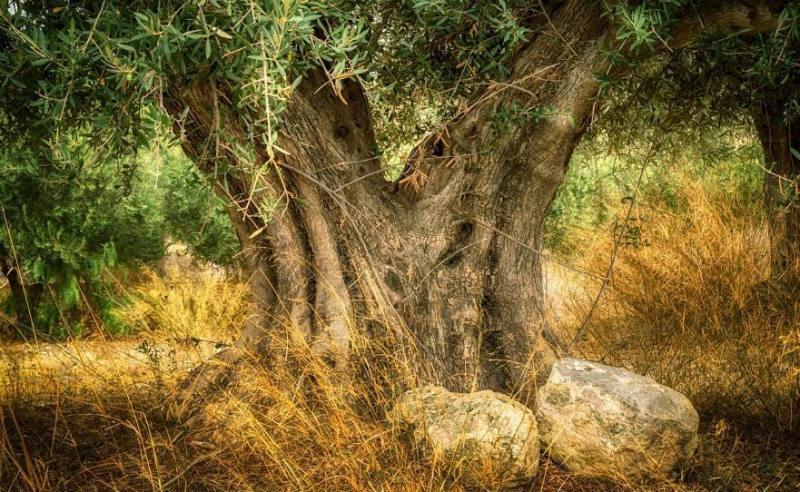 Vloekhout - Olijfboom (CC0 - Pixabay - Angeleses)