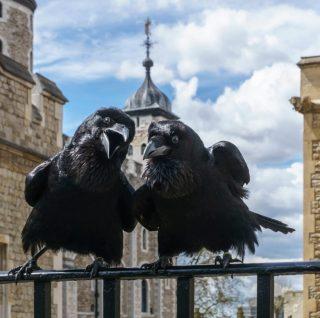 Twee raven bij de Tower of London - Jubilee en Munlin (CC BY-SA 4.0 - Colin - wiki)