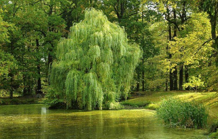 Iets aan de wilgen hangen - Treurwil (CC0 - Pixabay - wiki)