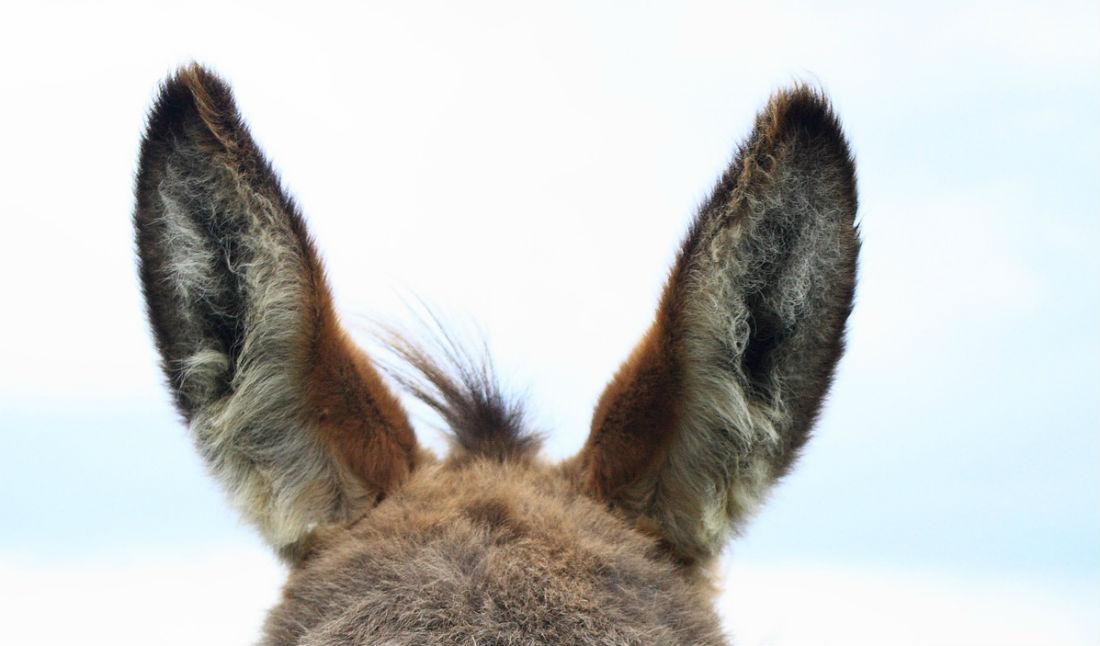 Iemand een oor aannaaien - Ezelsoren (CC0 - Pixabay - ChristineFabian)