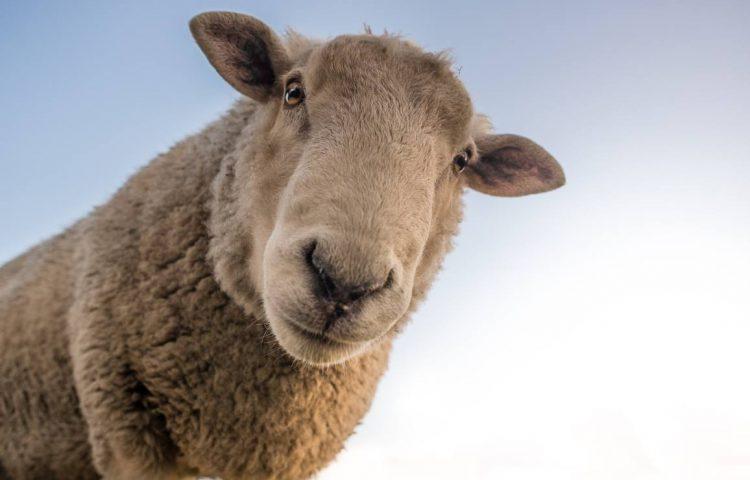 """""""Door de wol geverfd zijn"""" - Schaap (CC0 - Pixabay - Skitterphoto)"""