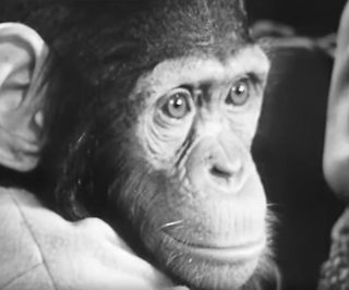 Chimpansee in de tweede aflevering van de serie (Still YouTube)