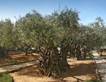 De tuin van Getsemane (CC BY-SA 4.0 - Tango7174 - wiki)