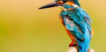 'Saevis tranquillus in undis' en het nationale ijsvogeltje