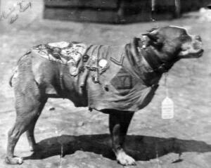 De gedecoreerde Sergeant Stubby (Publiek Domein - wiki)