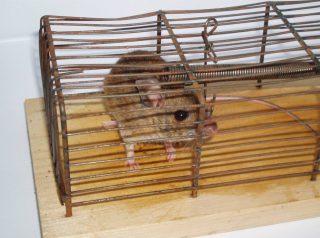Muizenval waarin de muis levend gevangen wordt