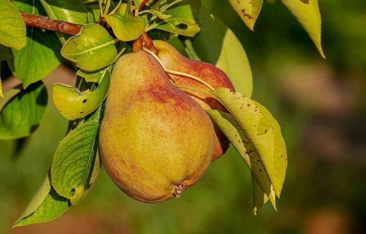'Augustinus zag eens peren hangen...'