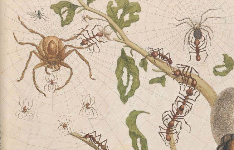 Detail van een heruitgave van Maria Sibylla Merian, Metamorphosis insectorum Surinamensium (Amsterdam, Van Oosterwyk, 1719) die onderdeel uitmaakt van de Fagelcollectie. Signatuur: Fag.GG.2.10
