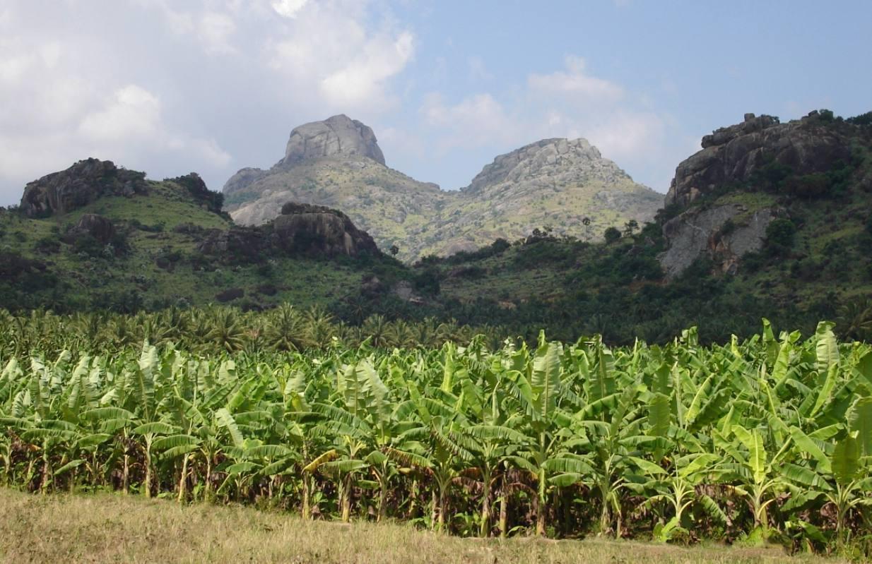 Plantagekolonie - Bananenplantage