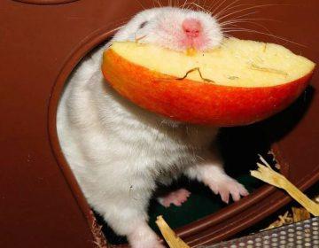 Hamsteren - Hamster met groot stuk appel