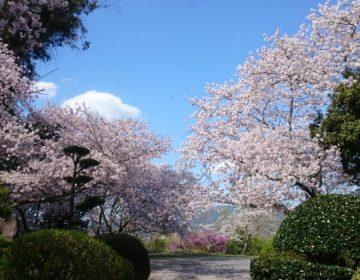 Kersenbloesem in het Sugimura-park in Hashimoto