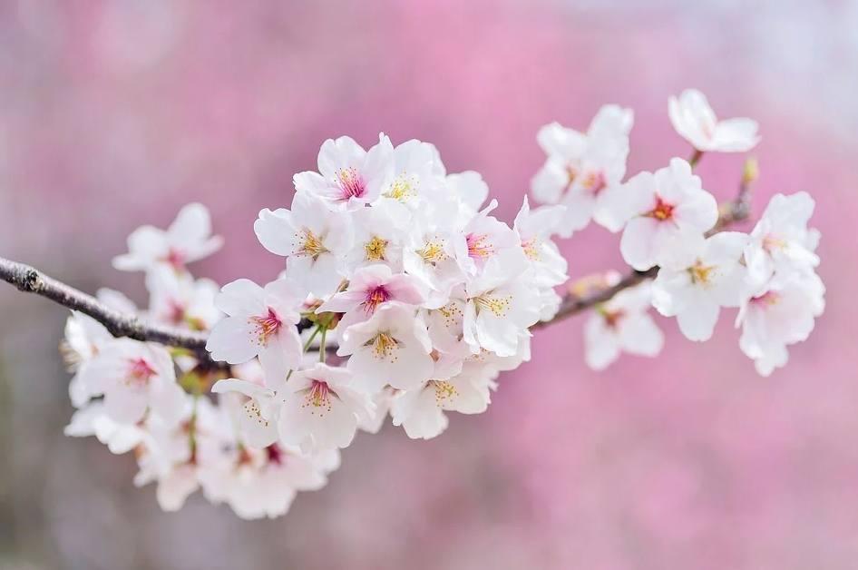 Sakura - Kersenbloesem