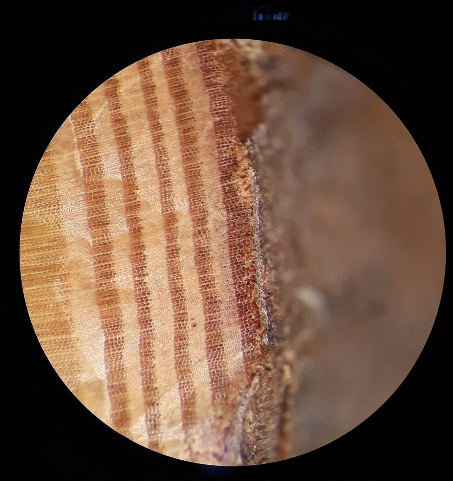Microscopisch beeld van de buitenste boomringen uit een balk, opgegraven in Por-Bajin. Van de laatste ring is alleen het vroege hout gevormd (donkere band, de lichte band is laat hout). De koolstof-14 piek is gevonden in de derde ring vanaf de bast.
