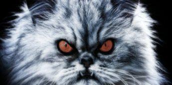 De demonische kat