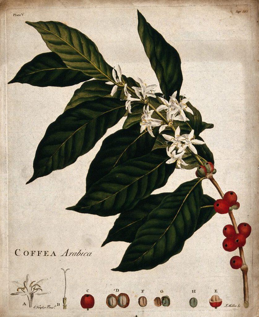 Een botanische tekening van een bloeiende Coffea arabica met koffieboon. S. Taylor en J. Miller, Londen, 1774. - Wellcome Library nr. 25333i.
