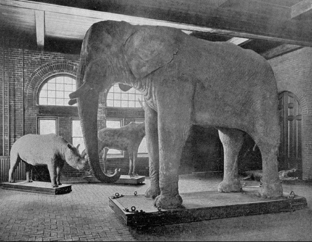 Een foto van de opgezette Jumbo in het Barmun Museum