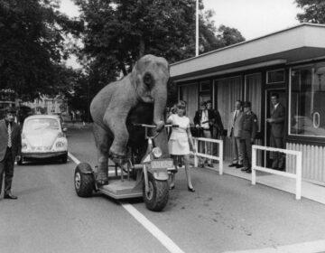Een fietsende circusolifant in Duitsland, 1970