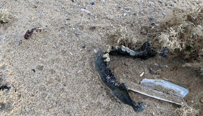 De gevonden kaak (Foto: politie)