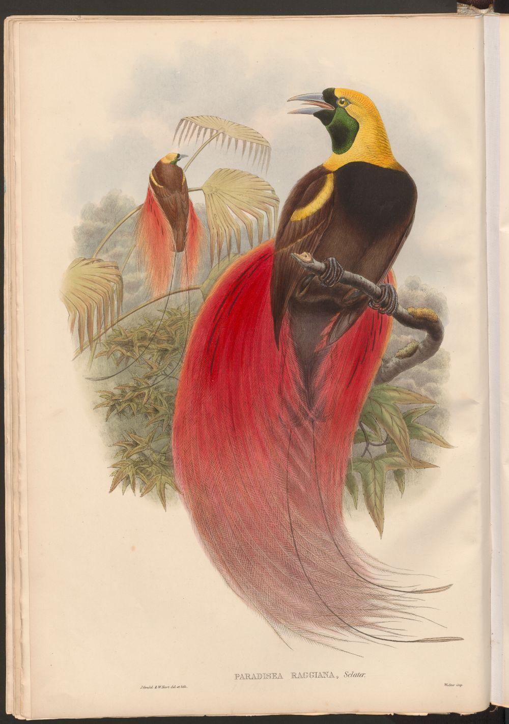Raggi's paradijsvogel - Gould, 1875-1888
