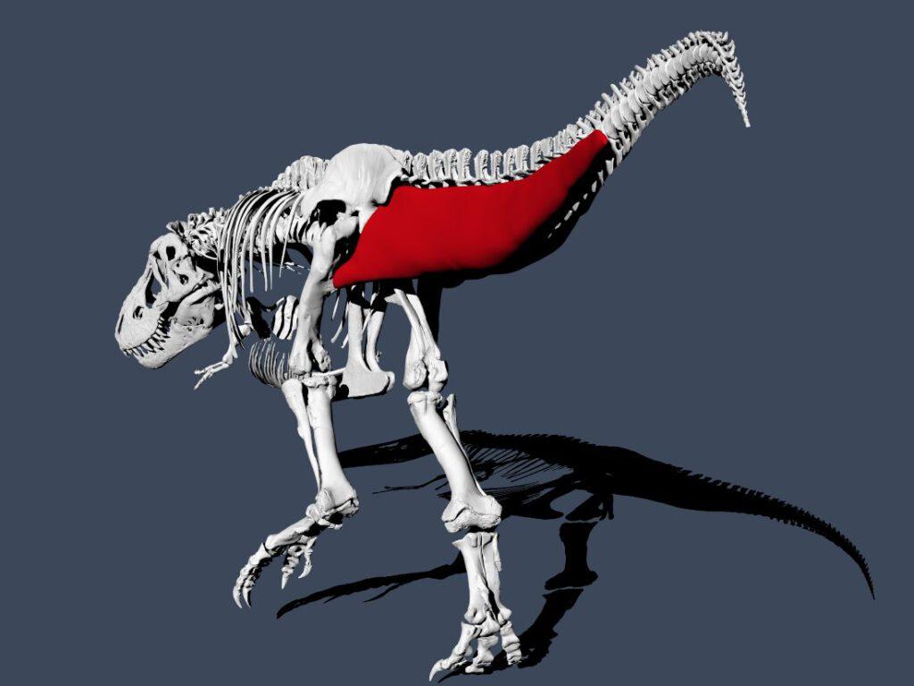 De Tyrannosaurus rex met reconstructie van de spieren in de staart