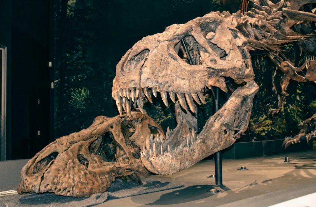 Een deel van de 3D-print van Trix naast het echte skelet van de Tyrannosaurus rex van Naturalis