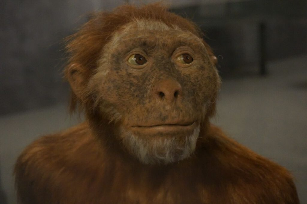 Een vroege mensachtige te zien in een tentoonstelling in het Museon