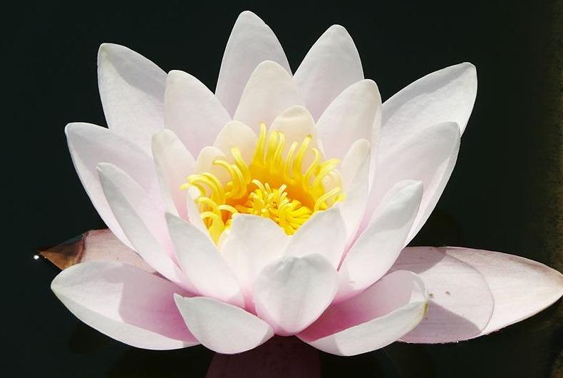 In veel Aziatische tradities staat de Lotusbloem symbool voor karma