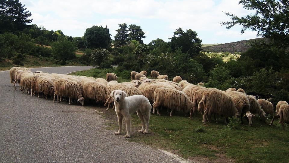 Hond bij een kudde schapen