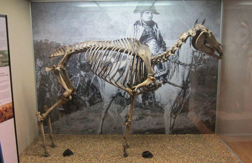 Skelet van Marengo zoals te zien in Londen, 2011